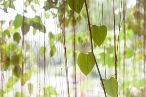 Heart-shaped green leaves