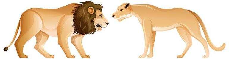 Lion and lioness in standing position on white background