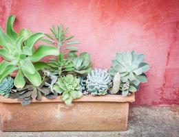 Potted cacti against a red wall photo