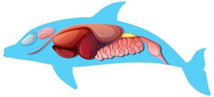 Anatomía interna de un delfín aislado sobre fondo blanco.