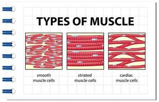 Types of muscle cell diagram vector