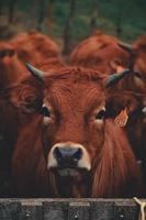 vaca joven marrón foto