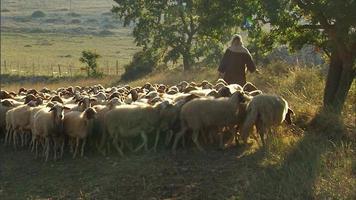 pastores pastoreando ovejas al atardecer