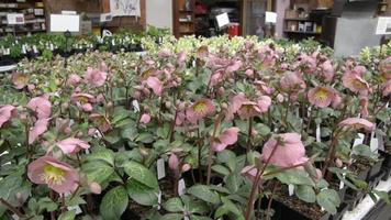 Packing table at a hellebores flower farm video