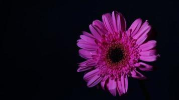 flor rosa stop motion