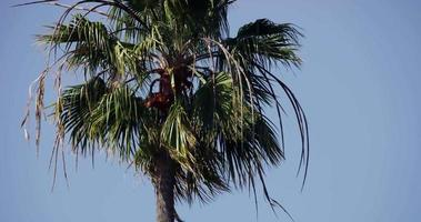 Cerca de palmeras movidas por el viento sobre fondo de cielo azul en 4k video