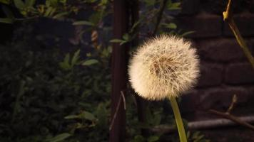 Cerca de diente de león movido por el viento en el jardín