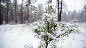 Pine branch in snow. Snowfall in the forest park. Winter landscape in snow-covered blurred park. HD video