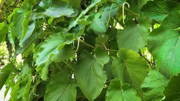 detalhe de grandes folhas verdes no jardim botânico ga28 video