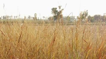 grama dourada seca no campo