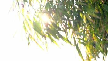 The rays of the sun make way through green leaves of the trees. video