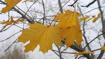 folhas de bordo amarelas tremulando ao vento