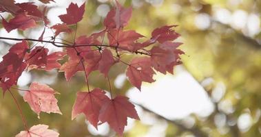 Hermoso contraste entre hojas rojas en primer plano y hojas amarillas en segundo plano en 4k video