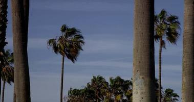 Panning shot of palm trees in fifferent distances with blue sky background in 4K