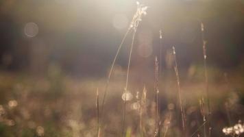 herbe battant au vent le matin, heure d'été. video