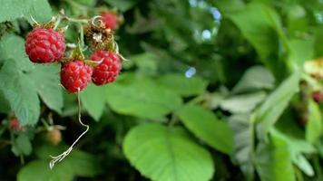 Frambuesa jugosa madura roja en el jardín