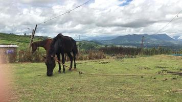 dois lindos cavalos comendo grama video
