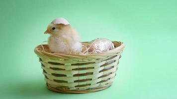 yellow easter chicken in easter nest with green background