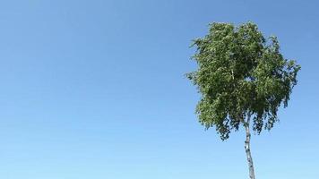 bétula contra um céu azul