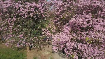 Tabebuia rosea blossom à Kamphangsean, Nakornpathom, Thaïlande