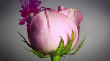 rosa rosa e inchiostro magenta