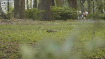 Ardilla en busca de comida en Forsyth Park Savannah Georgia