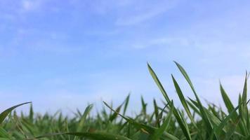 Close up herbe contre le ciel bleu