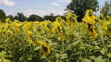 Plano medio de abejas polinizando flores. video