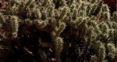 panorâmica vertical de plantas espinhosas no deserto em 4k