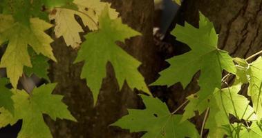close up de folhas verdes movidas lentamente pelo vento com tronco desfocado e folhas retrocedendo em 4k