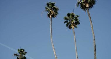 Toma panorámica diagonal de cuatro palmeras con fondo de cielo azul en 4k
