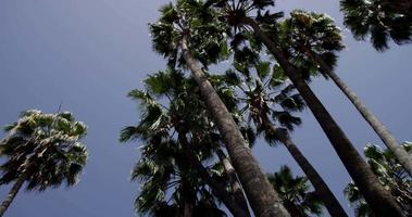 Low angle shot of tall palm trees on bright blue sky background in 4K
