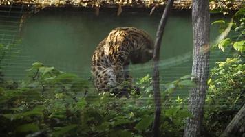 Gato leopardo asiático en el hábitat del zoológico