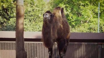 camello en el hábitat del zoológico