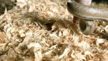 serpente in ultra slow motion (1.500 fps) - snakes phantom 013