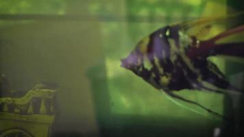 Angelfish In Aquarium