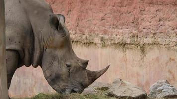 close-up rinoceronte comendo grama na selva video