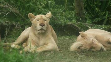 Female lions sitting down in nature