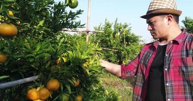 Bauernblick auf Orangenfruchtbaumfarm im Orangengarten