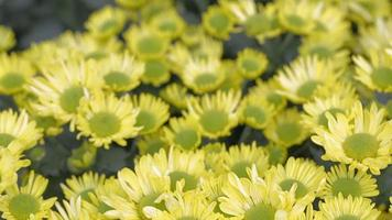 flor amarela e fundo de folha verde no jardim no dia ensolarado de verão ou primavera. video