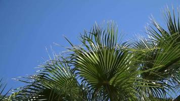 palmera datilera con frutos maduros y ramas moviéndose en el viento
