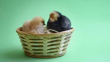 2 easter chicks in easter nest with green background