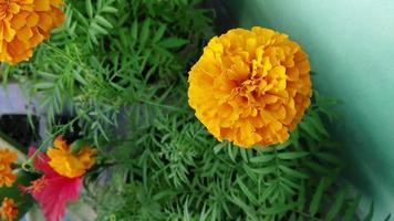 flor de calêndula no jardim video
