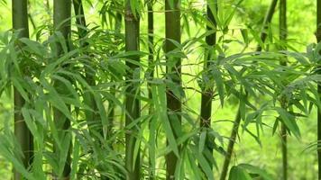Bamboo leaves shaking