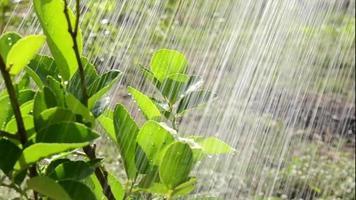 regar las plantas en el jardín