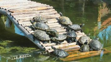 tartarugas tomando banho de sol na floresta na água do lago video