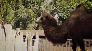 Kamel, das im Lebensraum des Zoos geht