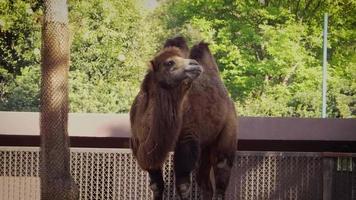 camello comiendo en el hábitat del zoológico