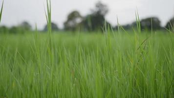 herbe verte avec vent qui souffle