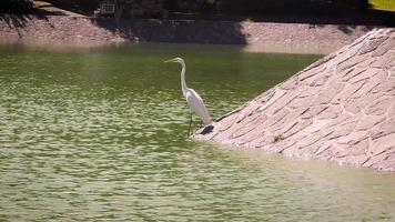 White Heron In Artificial Lake Chapultepec Mexico